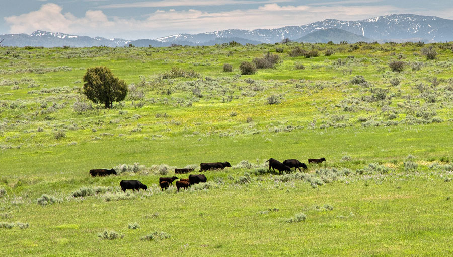 Elk Springs Pasture Cattle