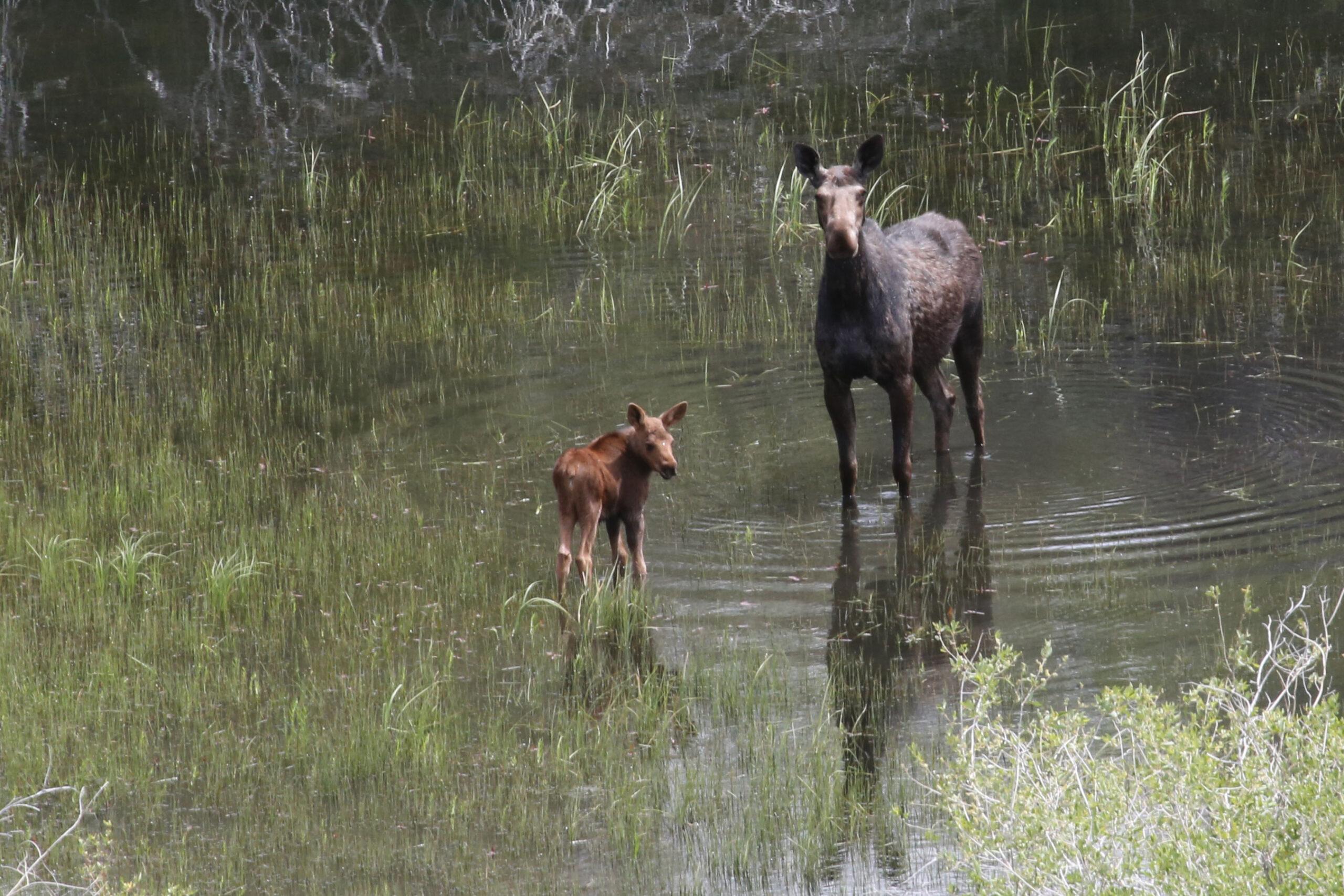 Spring Creek Ranch Moose